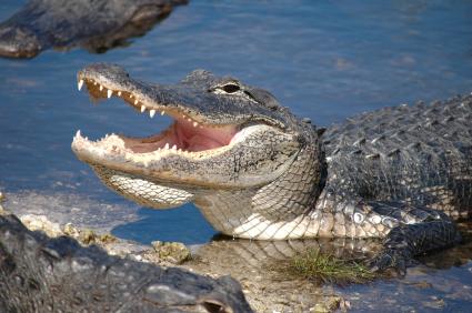 Alligator Day